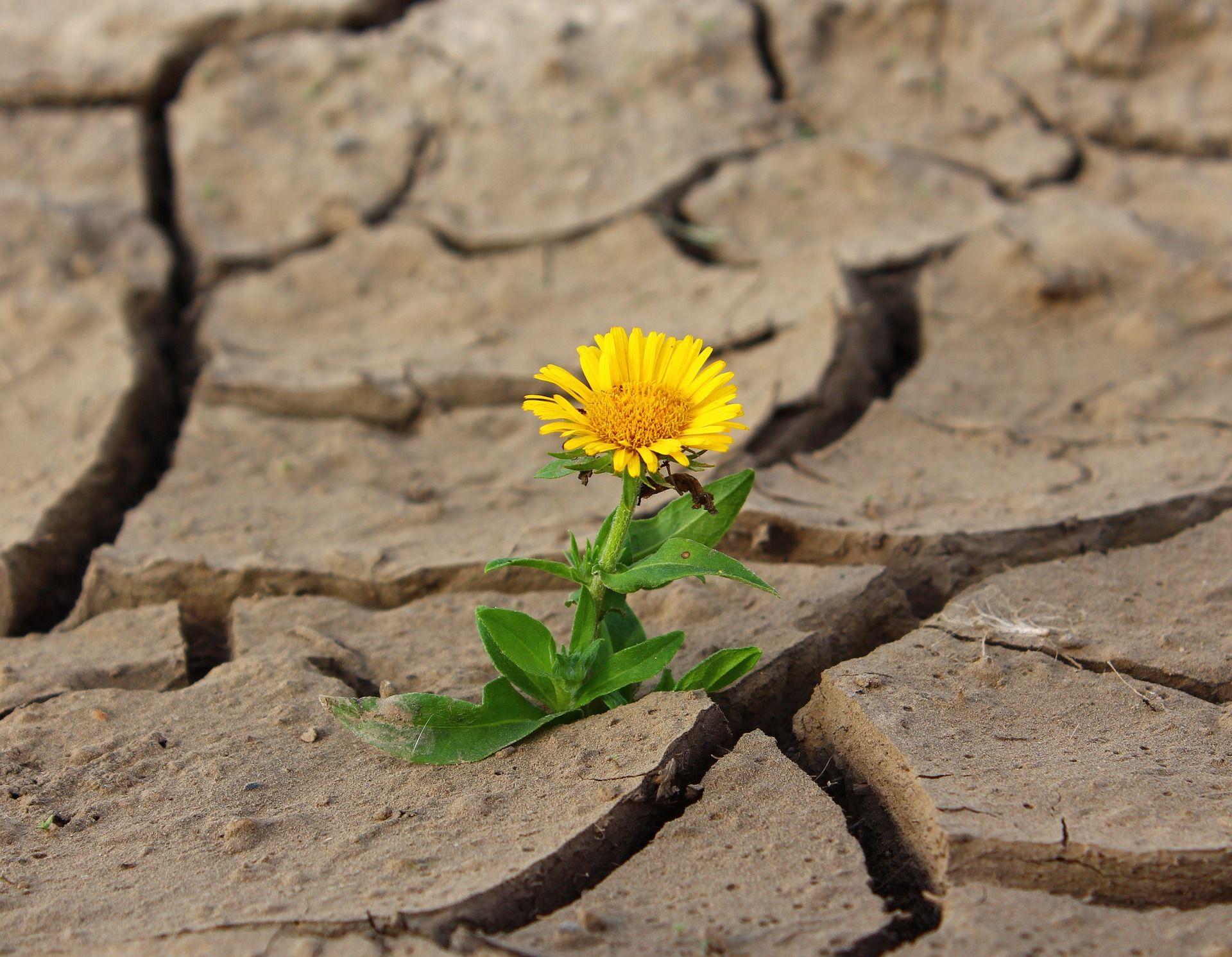 חיים ומוות: חרצית פורחת מבין האדמה היבשה, צילום: Pixabay