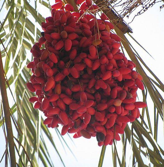 פירות התמר - כפות התמרים המקוריות? (צילום: יהודית גרינקול, ויקפידיה)